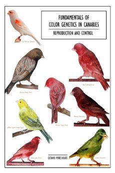 Fundamentals of color genetics in canaries