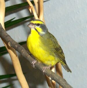 Mozambik ~ Kicau Burung Lokal Indonesia