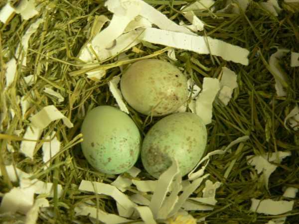 Kanári tojás