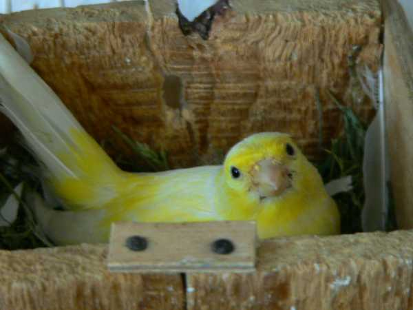 Kanári tojó