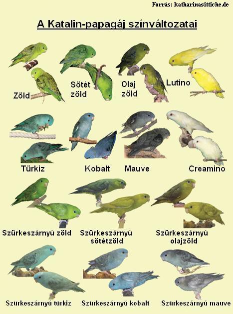 Katalin papagáj színváltozatok.